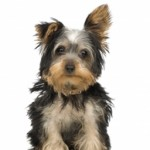 What To Consider When Choosing Yorkie Puppy As Pet?