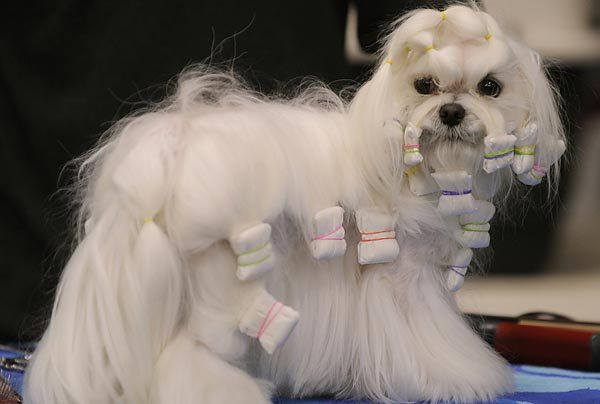 Maltese, know for its silky white hair, belongs to toy group. Many ...