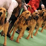America's Premier Dog Show Hosts 3 New Breeds (25 Pics)