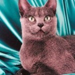 The Russian Blue - Royalty Under A Velvet Coat