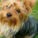 Yorkshire Terrier – Loving And Obedient Dog
