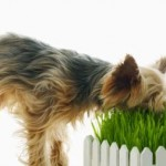 Why Do Our Doggies Have Herbivore Behavior?