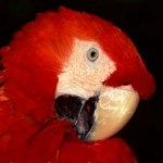 Getting Your Pet Parrot To Say The Right Words