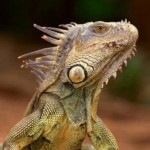 Need To Know Facts About Green Iguanas
