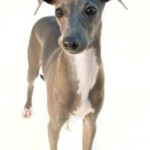Italian Greyhound Puppies And How To Train Them Yourself
