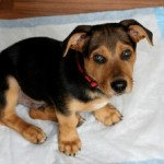 Do-It-Yourself Puppy Potty Training