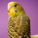 Parakeets –  Why Do People Prefer Them?