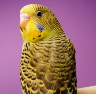 parakeet