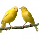 The Canary – Tips to Grow the Singer Bird