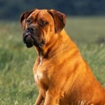 5 Best Guard Dog Breeds