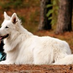 The White Wolf Called Swiss White Shepherd