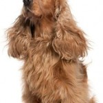 Important Tips for Grooming Cocker Spaniel