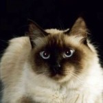 The Himalayan  A Cat with a Zen Attitude