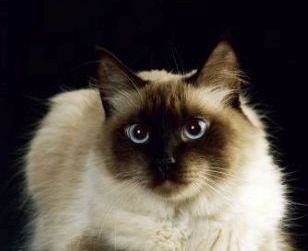 Himalayan Cat