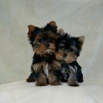 The Challenge of Raising Yorkie Poo Puppies