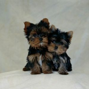 Yorkie  Puppies on The Challenge Of Raising Yorkie Poo Puppies