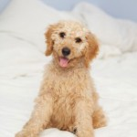 Finding the Best Australian Labradoodle Puppies for Sale