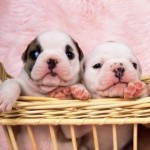 What Can You Expect from Bull Dog Puppies?