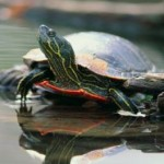 Basic Information on Freshwater Turtles