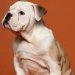 What You Can Expect from British Bulldog Puppies