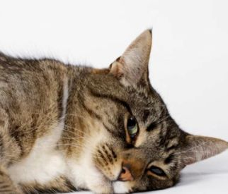 Cat Illness Symptoms