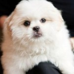 Small Dog Breeds Are the Cute Dog Breeds
