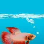Types of Betta Fish Diseases
