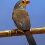 Getting Home Finches as Pets with Expert Tips
