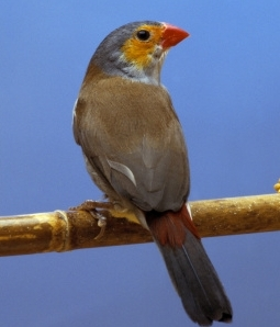 Finches as Pets with Expert Tips