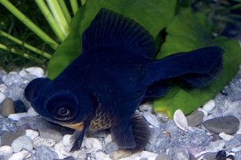 Black Moor Goldfish