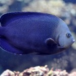 Bluespotted Angelfish