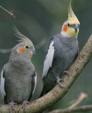 Information about Cockatiels as Pets