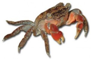Red-Clawed Crabs