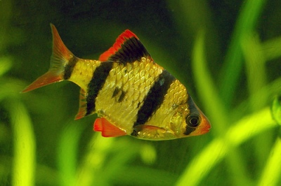 Types of Tropical Fish for Pets