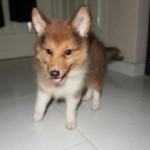 Facts about Shetland Sheepdog Puppies