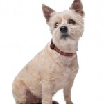 Information about Cairn Terrier Puppies