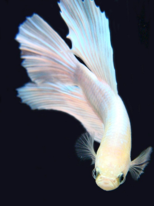 beautiful white fish