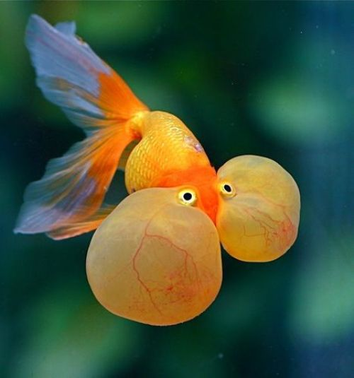 bubble eye gold fish