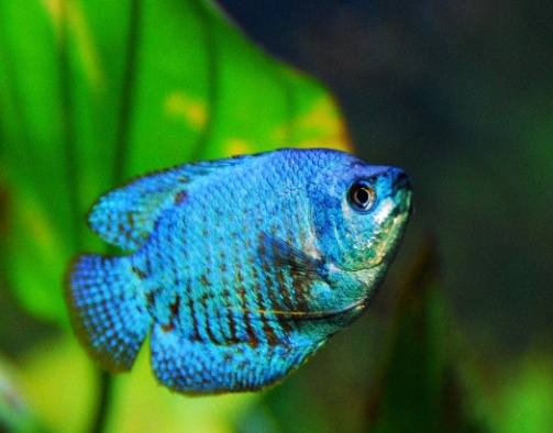 Blue Dwarf Gourami Fish
