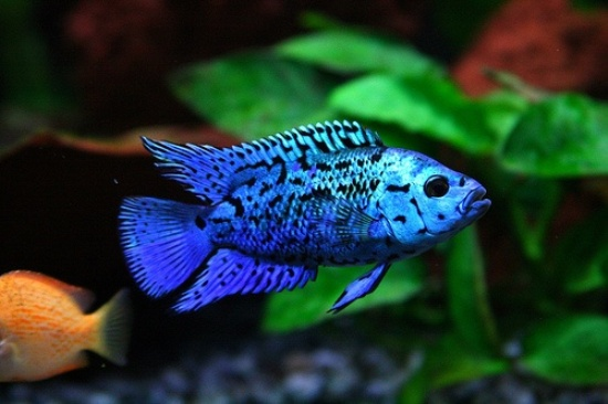 50 best tropical fishes for your aquarium the pets central for Electric fish tank
