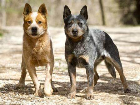 Smartest Dog Breeds