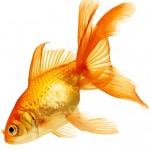treat flukes in goldfish rightly