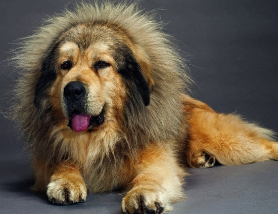 The 5 Most Expensive Dog Breeds In The World The Pets