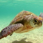 interesting facts about turtle mating