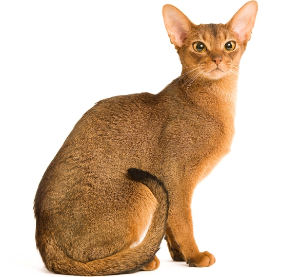 the abyssinian