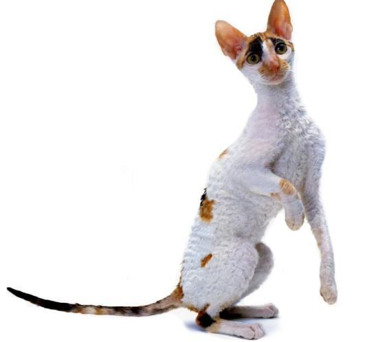 the cornish rex cat