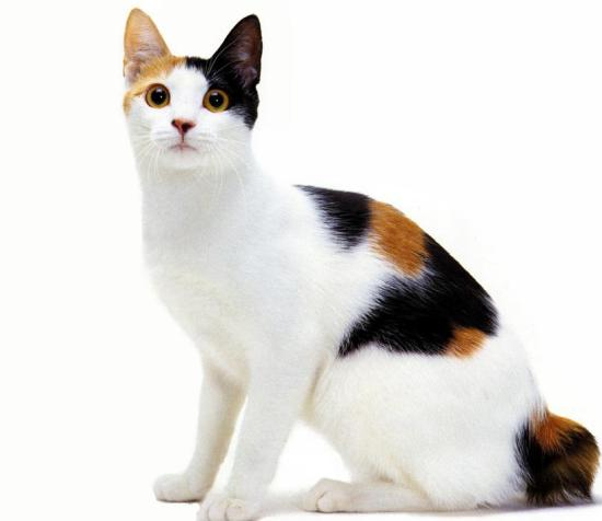 the japanese bobtail