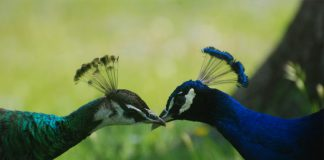Main Differences Between Male and Female Peacocks