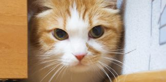 Hot Spots in Cats – Symptoms and Treatment