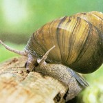 how to take care of mystery snails